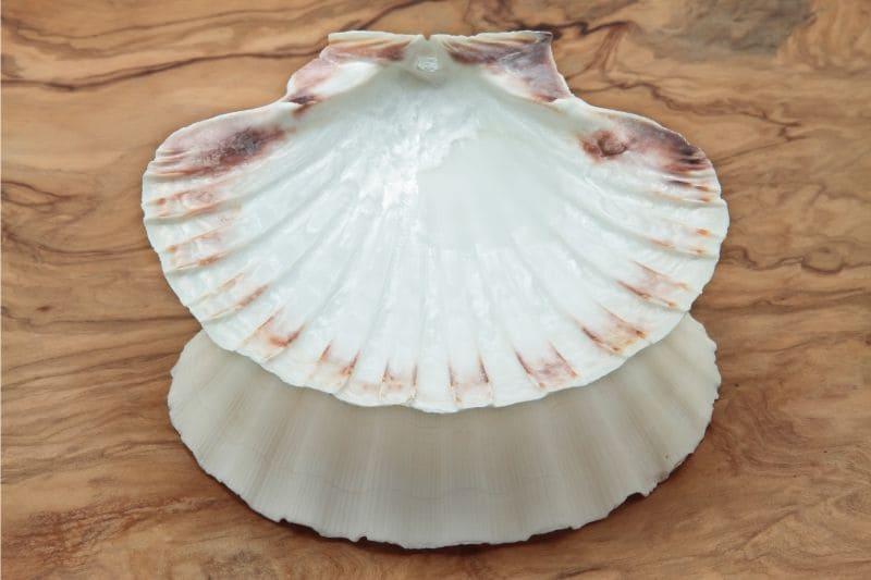 coquille st jaques